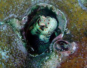 Blenniella periophthalmus httpsuploadwikimediaorgwikipediacommonsthu