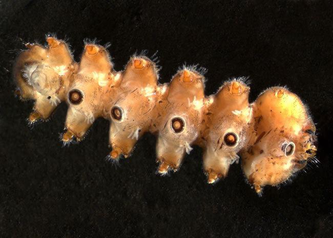 Blephariceridae Net wing midge Midges Landcare Research