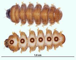 Blephariceridae Blephariceridae The Fishing Gene