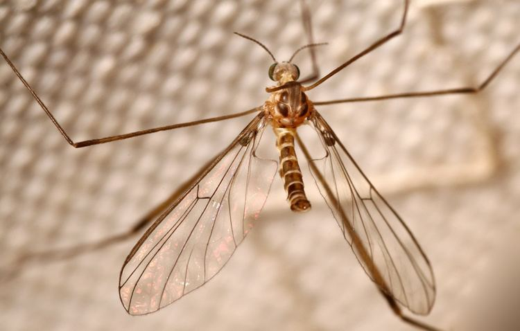 Blephariceridae Dipterainfo Discussion Forum new family for dipterainfo D