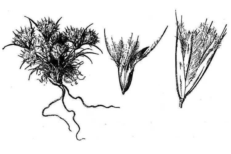 Blepharidachne kingii