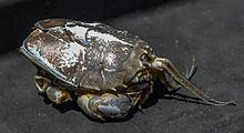 Blepharipoda occidentalis httpsuploadwikimediaorgwikipediacommonsthu