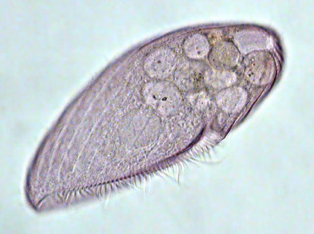 Blepharisma Blepharisma is a microphagus filter feeder that PSYCHOLOGY PSY 203