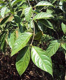 Blepharistemma httpsuploadwikimediaorgwikipediacommonsthu