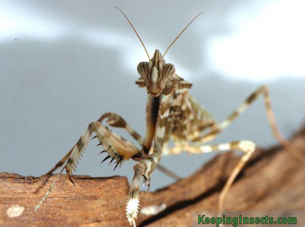 Blepharopsis mendica Thistle Mantis Blepharopsis mendica Keeping Insects