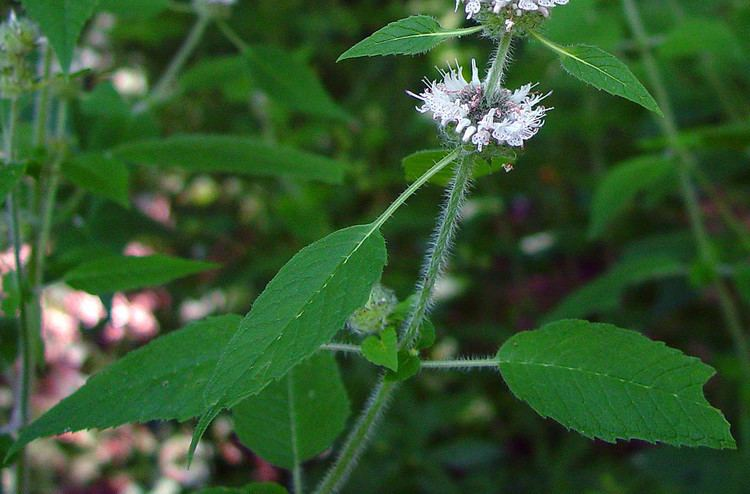 blephilia hirsuta hairy woodmint minnesota wildflowers