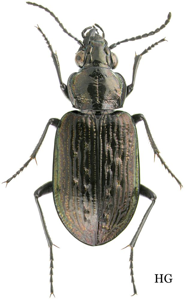 Blethisa carabidaeorgcarabidaeBlethisa20inexpectata203