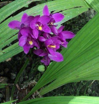 Bletia Bletia purpurea
