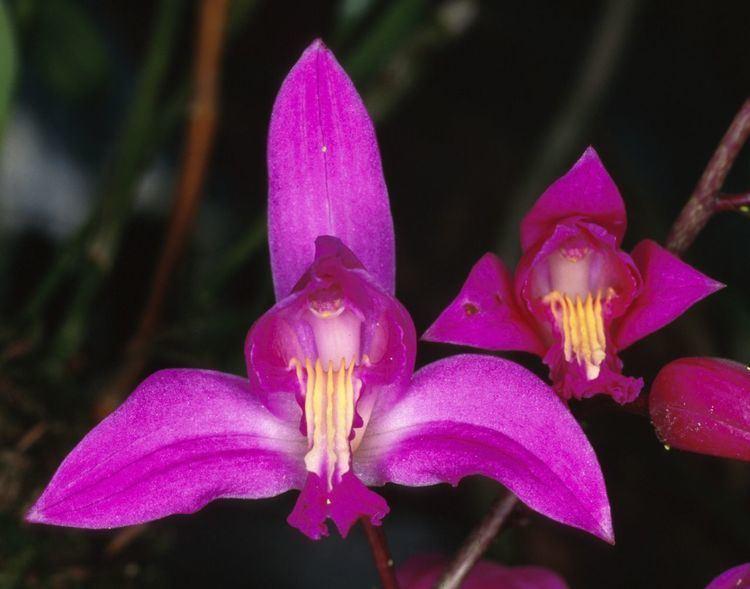 Bletia wwworchidspeciescomorphotdirbletfloridajpg