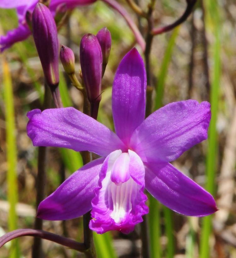 Bletia Bletia patula Flor de Pasmo Haitian Pine Pink Go Orchids