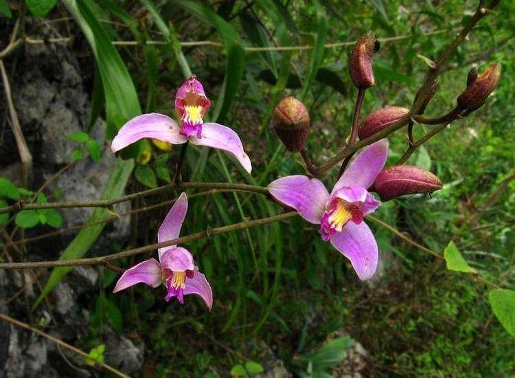 Bletia SEINet Arizona Chapter Bletia purpurea