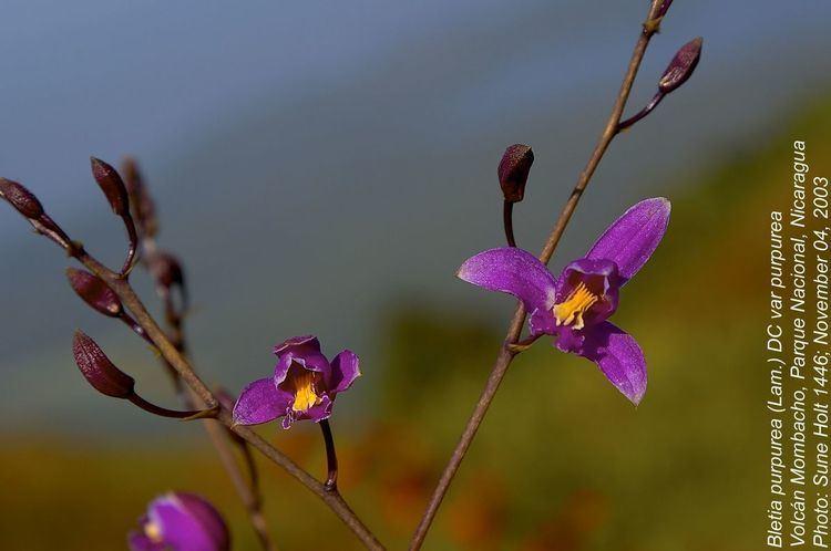 Bletia purpurea Bletia purpurea Orchidaceae image 35424 at PlantSystematicsorg