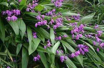Bletilla striata The only easy to grow terrestrial orchid Bletilla striata