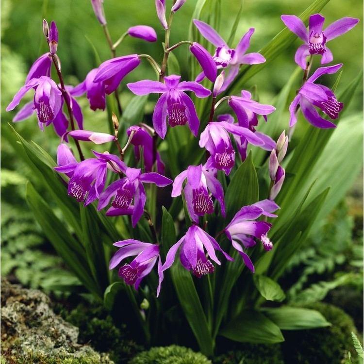 Bletilla striata Redpurple Garden Orchid Bletilla striata purple Hyacinth