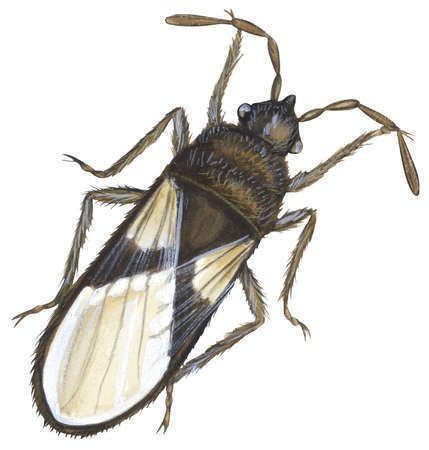 Blissus Stock Illustration Chinch bug Blissus leucopterus