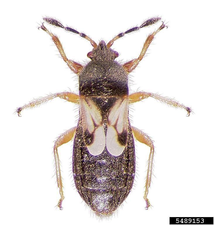 Blissus hairy chinch bug Blissus leucopterus hirtus Hemiptera Blissidae
