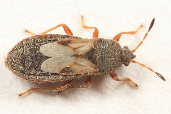 Blissus leucopterus Chinch Bug Blissus leucopterus BugGuideNet