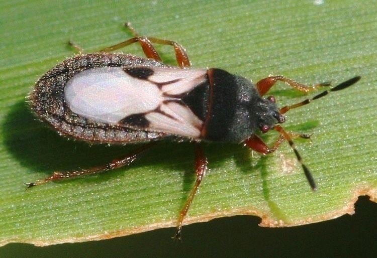Blissus leucopterus CB Sorghum Crop Pests Insect Information Extension