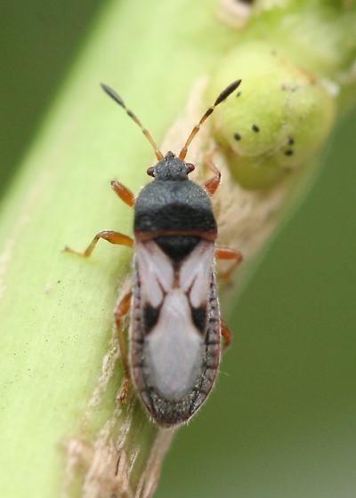 Blissus leucopterus bugguidenetimagescache80JQ7080JQ703Q20BRKQYR