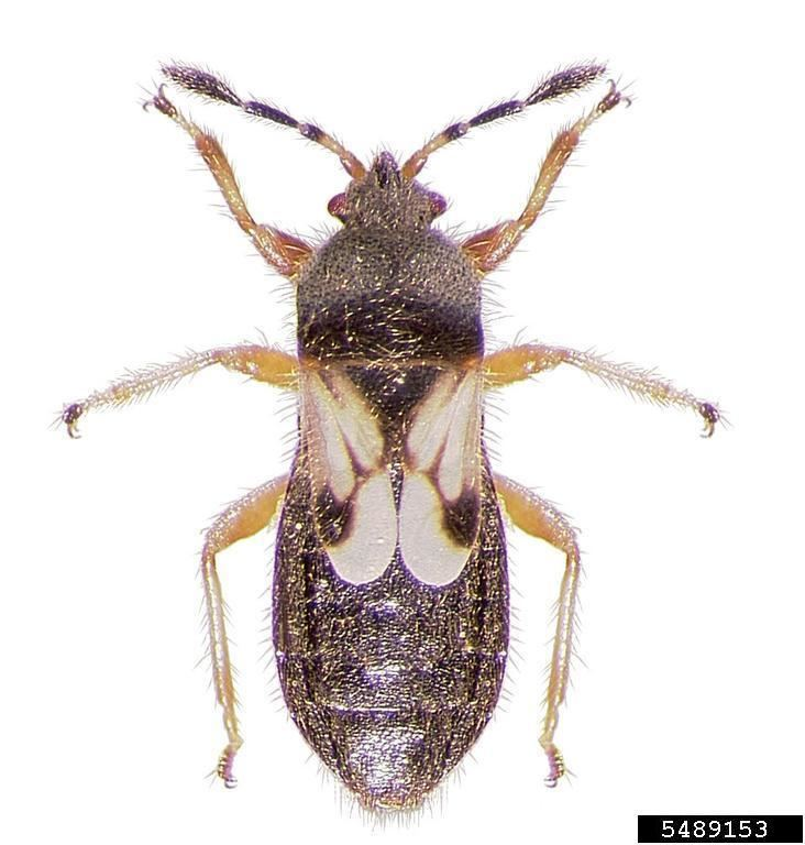 Blissus leucopterus hairy chinch bug Blissus leucopterus hirtus Hemiptera Blissidae
