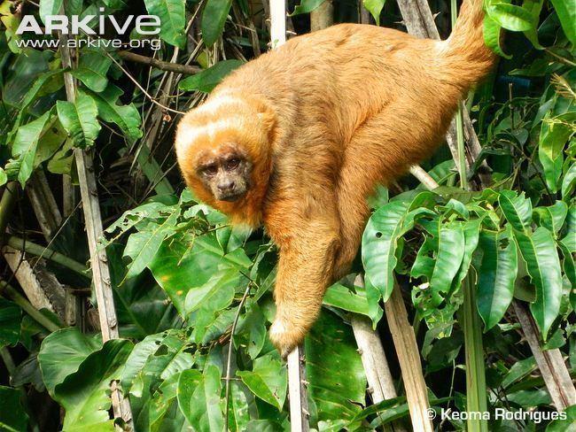 Blond capuchin blond capuchin Blonde capuchin Cebus flavius capuchin