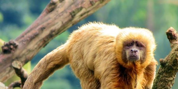 Blond capuchin petition Save the Blond Capuchin