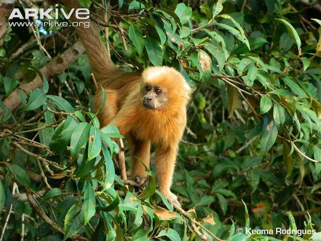 Blond capuchin Blonde capuchin photo Cebus flavius G125935 ARKive