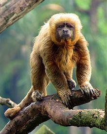 Blond capuchin httpsuploadwikimediaorgwikipediacommonsthu