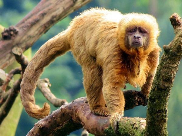 Blond capuchin Blond Capuchin Planet of the Monkeys