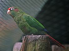 Blood-eared parakeet httpsuploadwikimediaorgwikipediacommonsthu