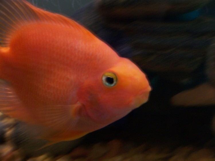 Blood parrot cichlid httpsuploadwikimediaorgwikipediaenaa5Pre