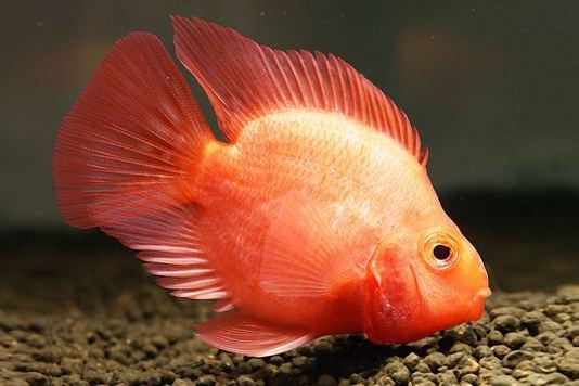 Blood parrot cichlid Blood Parrot Cichlid Central American American Cichlids Fish