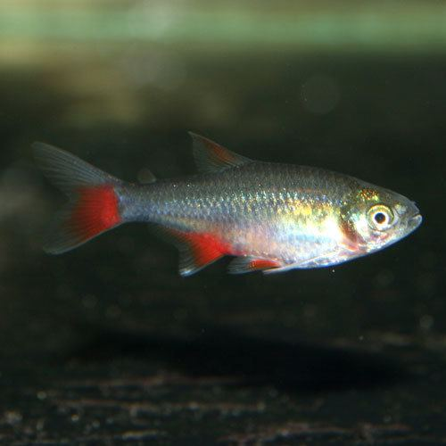 Bloodfin tetra Bloodfin Tetra Aphyocharax anisitsi That Fish Place