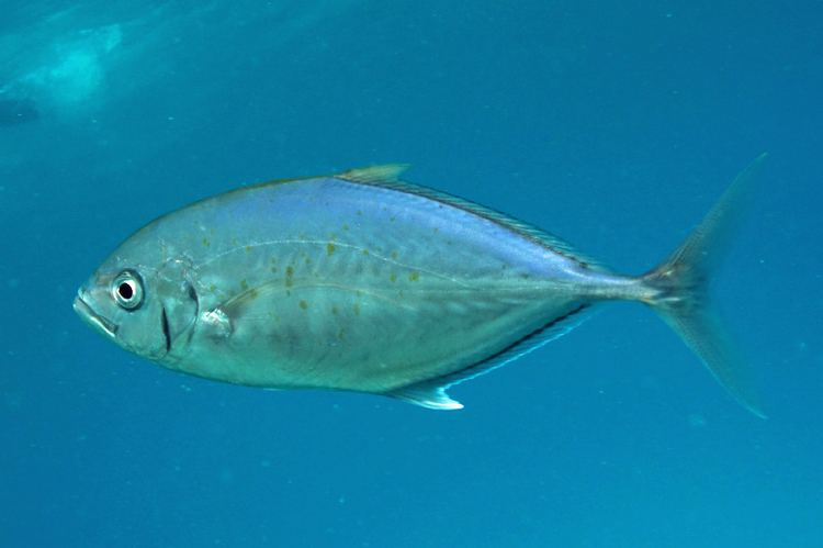 Bludger (fish) fishesofaustralianetauImagesImageCarangoidGym