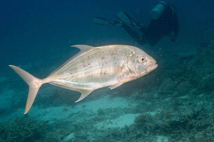 Bludger (fish) Carangoides gymnostethus