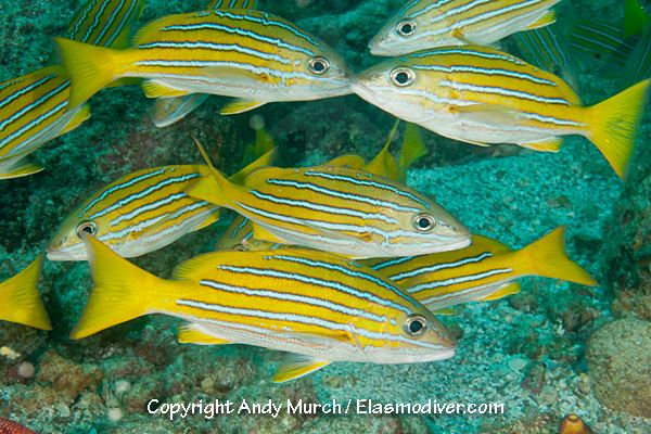Blue and gold snapper wwwelasmodivercomFish20PicturesBlueandGold
