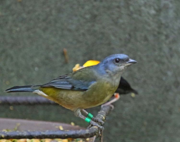 Blue-and-yellow tanager Pictures and information on Blueandyellow Tanager