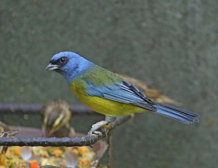 Blue-and-yellow tanager wwwnejohnstonorgbirds201304ImagesIMG2016jpg