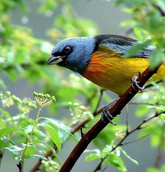 Blue-and-yellow tanager Blueandyellow Tanager BirdForum Opus