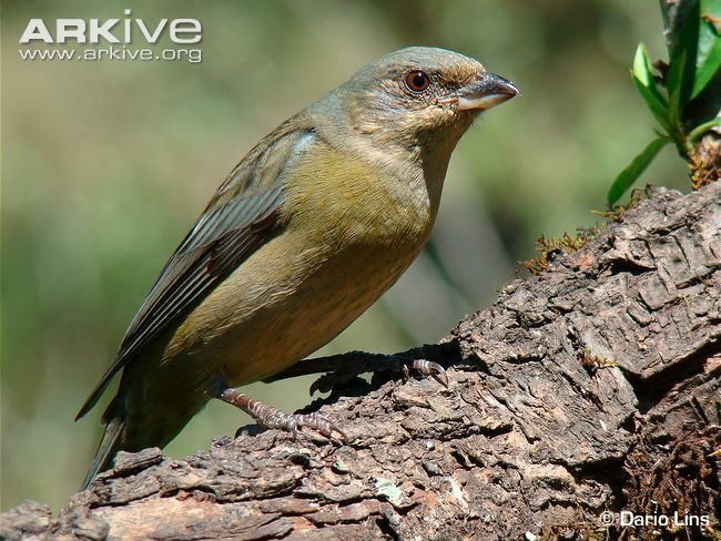 Blue-and-yellow tanager Blueandyellow tanager photo Thraupis bonariensis G39215 ARKive