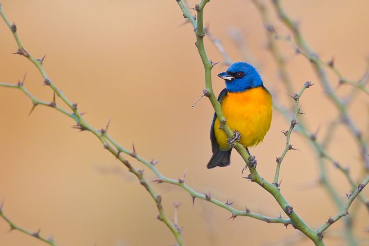 Blue-and-yellow tanager Blueandyellow Tanager Thraupis bonariensis This bird a Flickr