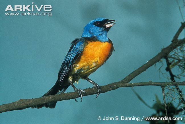 Blue-and-yellow tanager Blueandyellow tanager videos photos and facts Thraupis