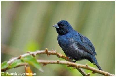 Blue-black grassquit Blue Black Grassquit