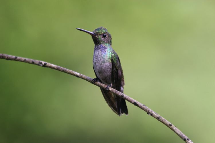 Blue-chested hummingbird Avise39s Birds of the World