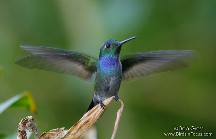 Blue-chested hummingbird Birds in Focus Bluechested Hummingbird
