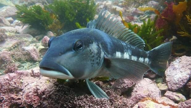 Blue cod MPI says no 39frying pan rule39 for blue cod fishermen but you still
