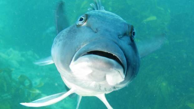 Blue cod Marlborough fishermen welcome blue cod changes Stuffconz