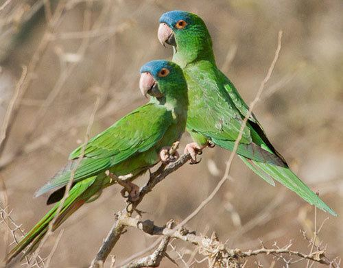 Blue-crowned parakeet Bird Species Bluecrowned Parakeet