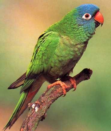 Blue-crowned parakeet Bluecrowned Parakeet Aratinga acuticaudata South American birds