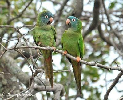 Blue-crowned parakeet Bluecrowned Conure or Parakeet